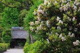 鎌倉常楽寺 シャリンバイと山門
