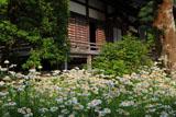鎌倉大長寺 フランスギクと本堂