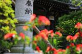 鎌倉等覚寺コエビソウ越しの本堂