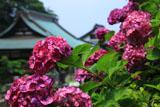 鎌倉青蓮寺 アジサイと本堂