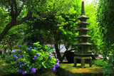 藤沢常立寺 紫陽花と五重塔