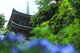 龍口寺 アジサイと五重塔