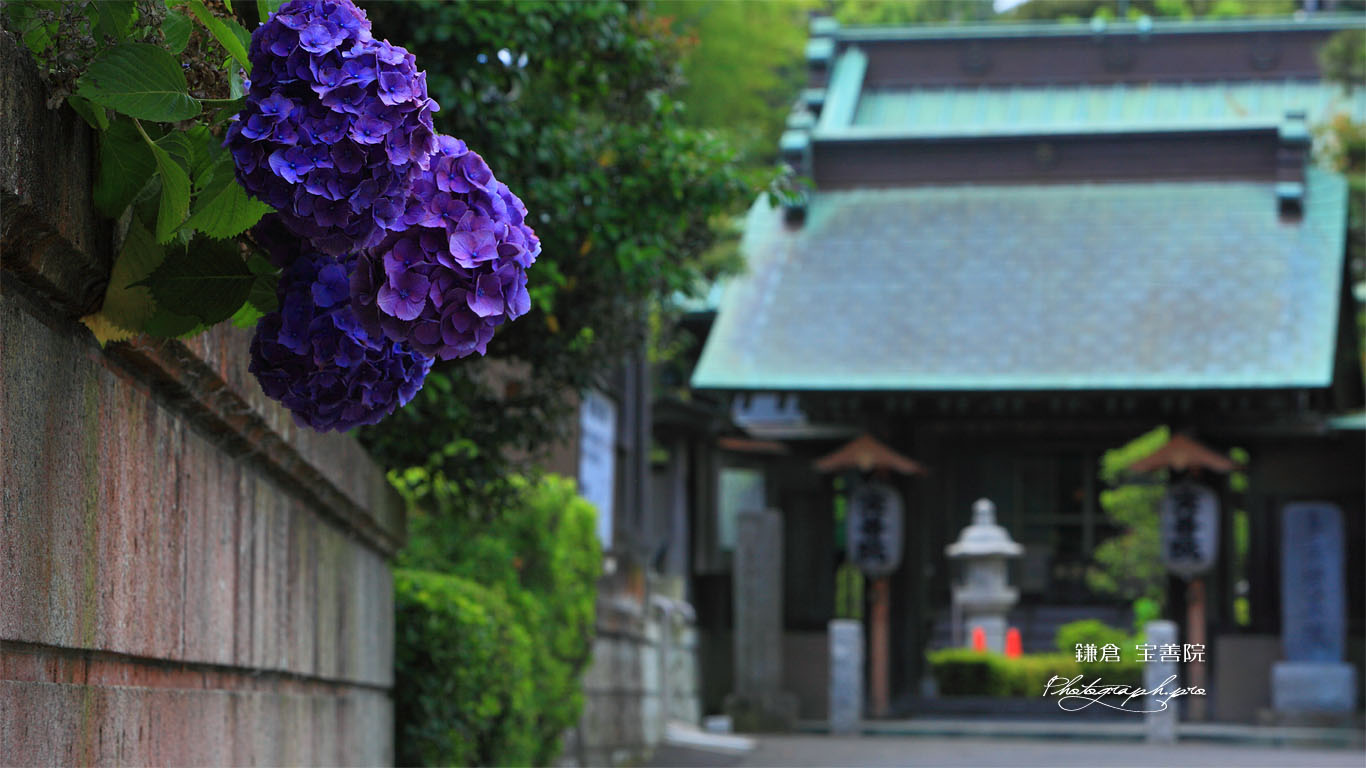 鎌倉 宝善院のアジサイ 壁紙