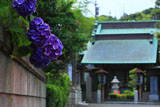 鎌倉 宝善院のアジサイ