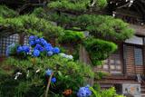 アジサイと鎌倉満福寺