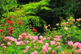 明月院のバラ