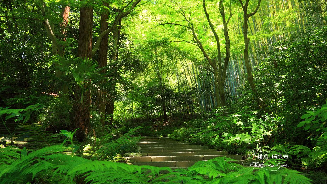 瑞泉寺 新緑の参道 の壁紙 1366x768