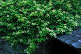 東慶寺 イワガラミ