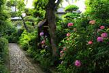光照寺のアジサイ