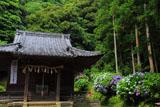 鎌倉白山神社社殿と紫陽花