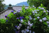 アジサイと鎌倉今泉寺