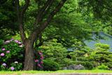 大長寺 紫陽花と桜の樹