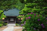 鎌倉大長寺 アジサイと本堂