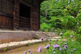 鎌倉常楽寺 矢車菊と仏殿