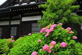 鎌倉等覚寺のアジサイと本堂
