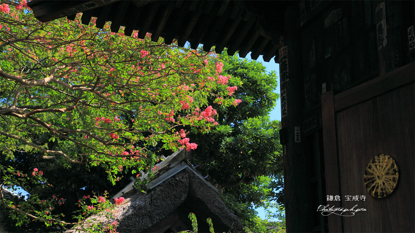 鎌倉宝戒寺 太子堂越しのサルスベリ 壁紙