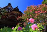 妙隆寺のフヨウとサルスベリ