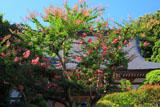 久成寺 サルスベリ越しの本堂