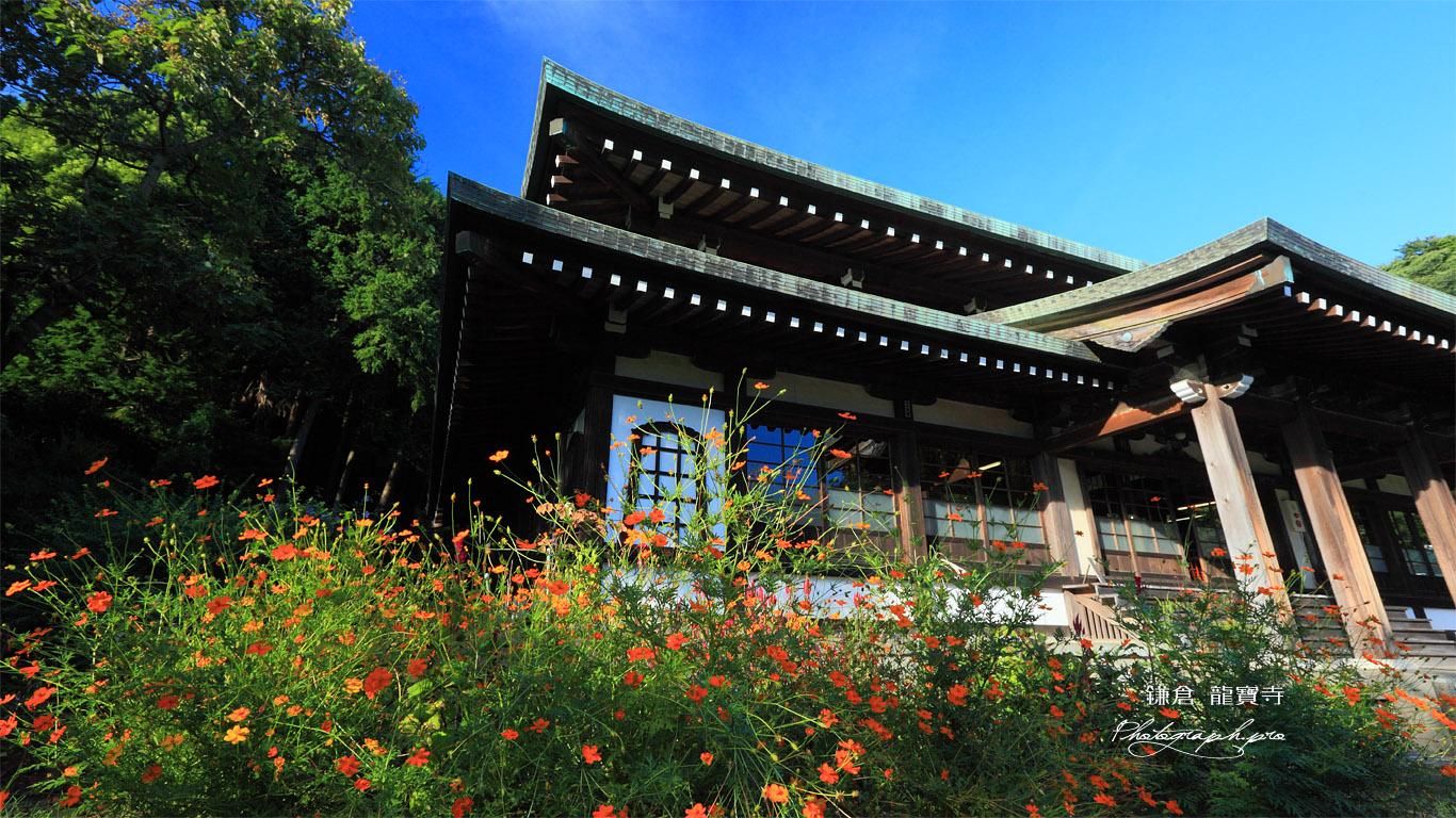 鎌倉龍寶寺のキバナコスモスと本堂 壁紙