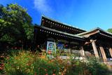 鎌倉龍寶寺のキバナコスモスと本堂