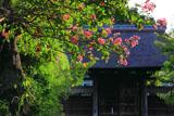 鎌倉龍宝寺の百日紅と山門