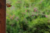 青蓮院 立羽蝶とハギ