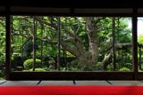 宝泉院 額縁庭園のゴヨウマツ