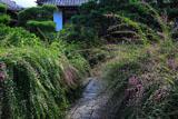 京都常林寺 参道のハギ