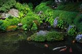 寂光院 錦鯉と秋海棠