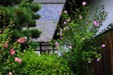 東福寺のタチアオイ