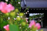 芙蓉越しの立葵と東福寺南門