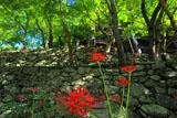 清水寺のヒガンバナ