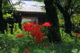 平野神社 ヒガンバナと南門