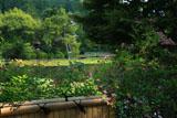 龍安寺 鏡容池畔の萩