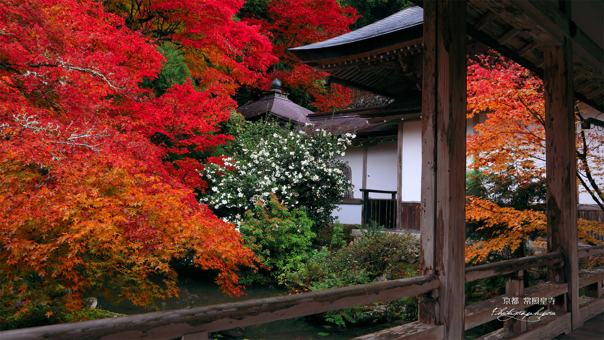 京都 常照皇寺の紅葉と山茶花 ...