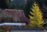 福徳寺 イチョウ黄葉と本堂