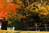 京都花脊 春日神社の大銀杏