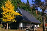京都久多 龍宝寺の黄葉銀杏