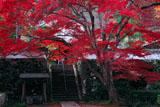 亀岡神蔵寺の大カエデと本堂