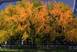 西本願寺 黄葉の大銀杏と御影堂