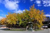 西本願寺 大銀杏の黄葉と御影堂門