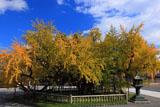 西本願寺の逆さ銀杏