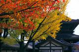 東本願寺 桜の紅葉と銀杏の黄葉