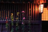 平野屋の嵯峨菊