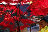 出雲大神宮 紅葉越しの社殿