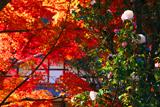 吟松寺 山茶花と紅葉