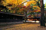 上御霊神社 イチョウの黄葉