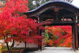 二尊院勅使門と紅葉
