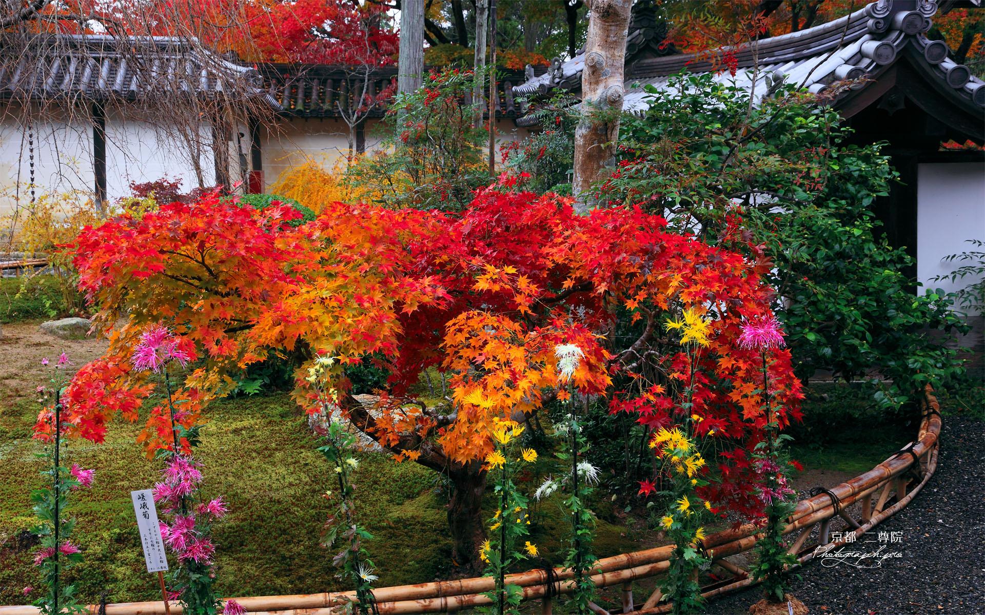 二尊院の嵯峨菊と楓