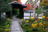 京都圓徳院 ツワブキと唐門